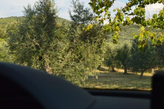 Olive Trees!