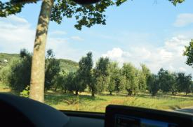 Lots of Olive trees